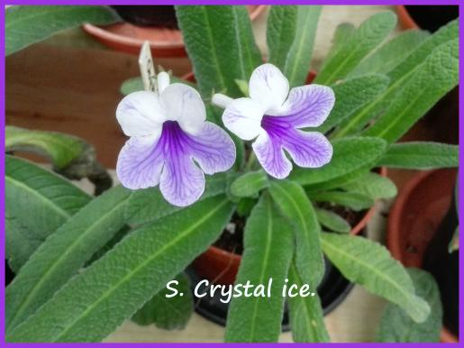 S. Crystal ice