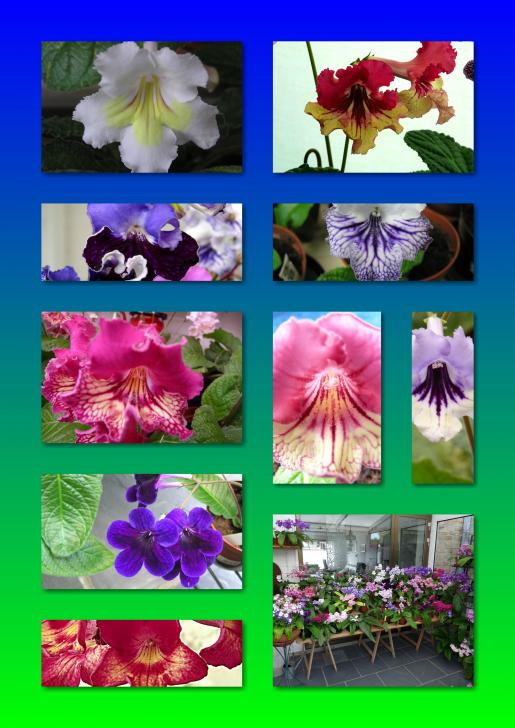 Streptocarpus collage