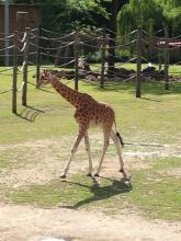 Baby girafje, zo lief � Simonne Troosters